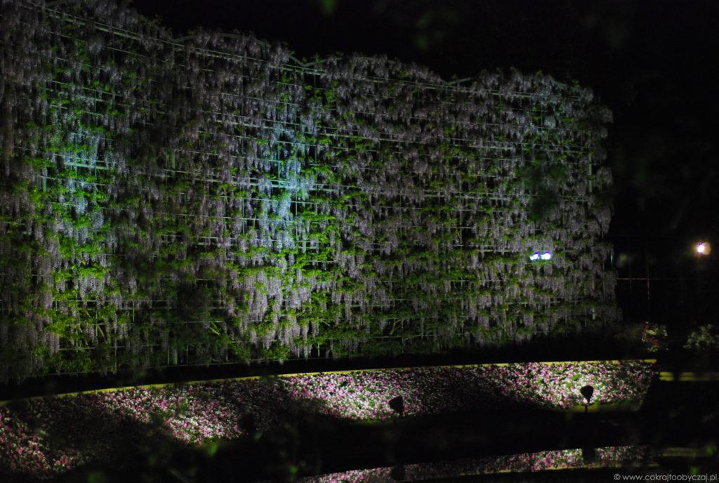 Ściana z wisterii w Ashikaga Flower Park