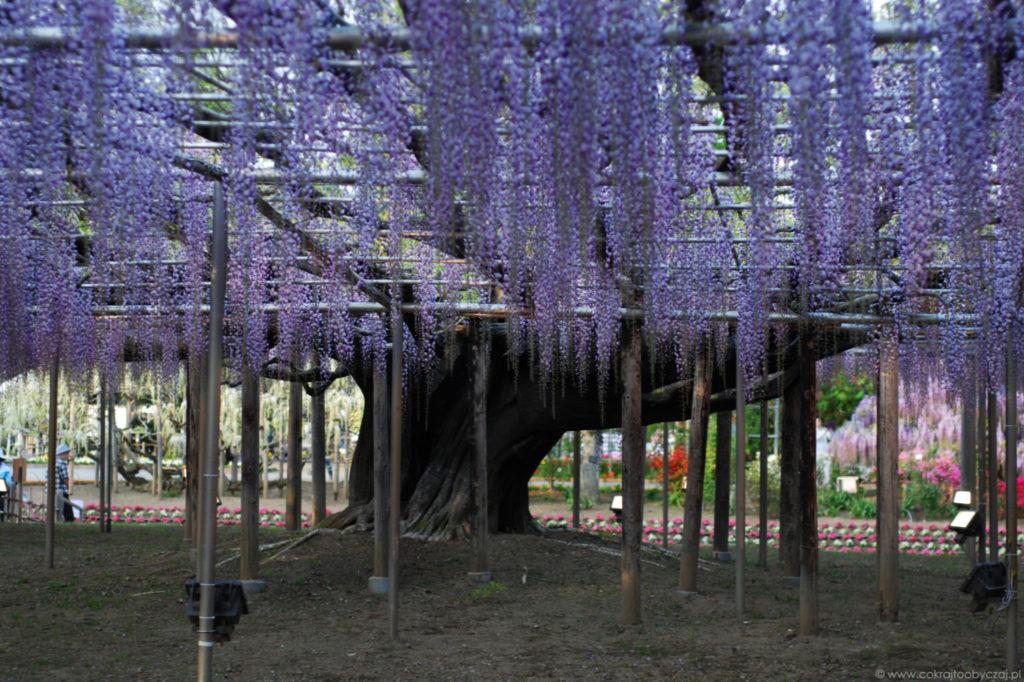 Kwitnąca wisteria w Ashikaga Flower Park