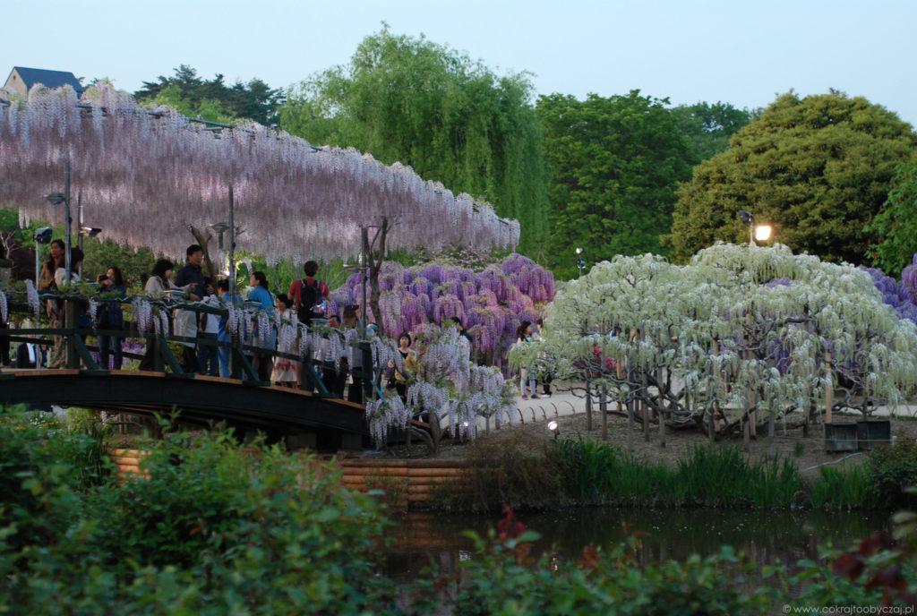 Wisterie w Ashikaga Flower Park