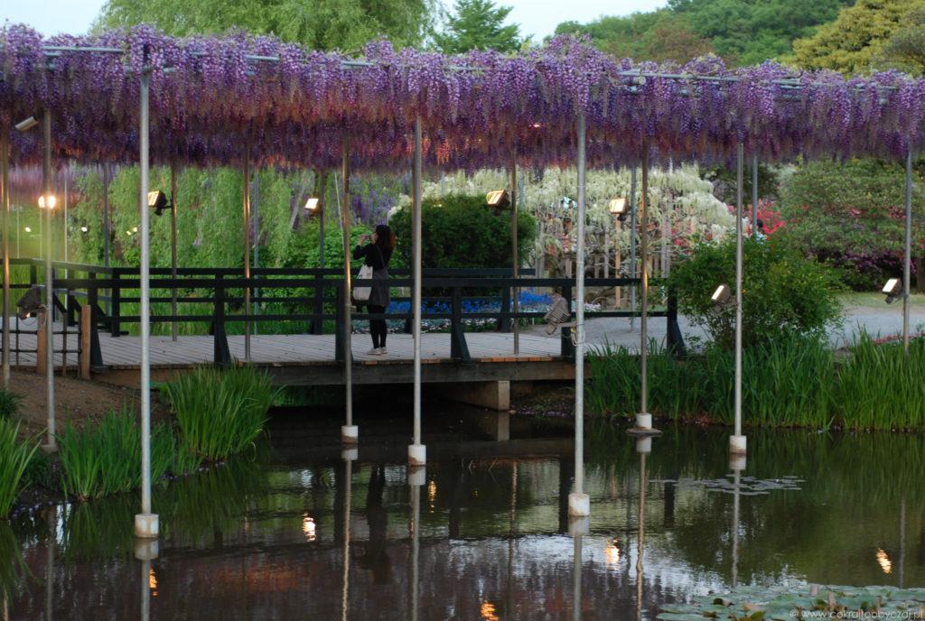 Parasol z wisterii