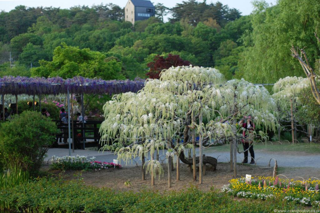 Wisteria w Ashikaga Flower Park