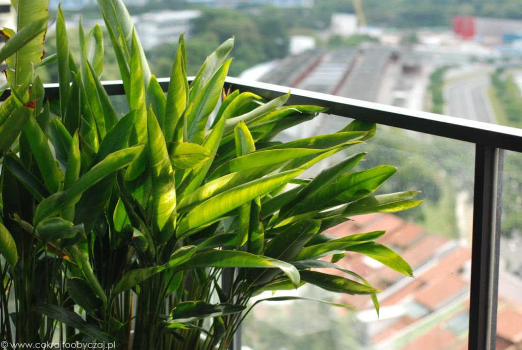 Heliconia na balkonie.