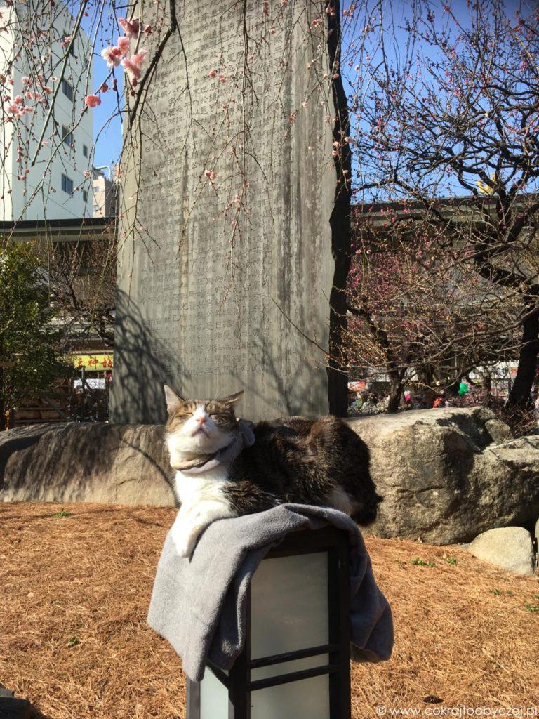 Kot wygrzewający się na latarni pod kwitnącą śliwą.