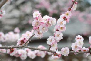 Różowe kwiaty śliwy ume w pełnym rozkwicie.