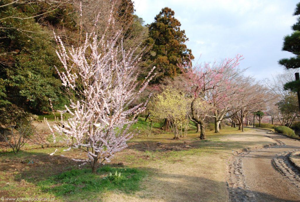 Drzewka w ume z białymi, żółtymi i różowymi kwiatami.