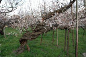Posrkęcany pień drzewka ume z białymi kwiatami