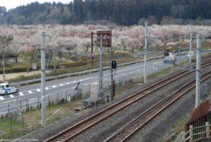 Tory i morze kwitnących drzewek w ume przy stacji Mito Kairakuen.