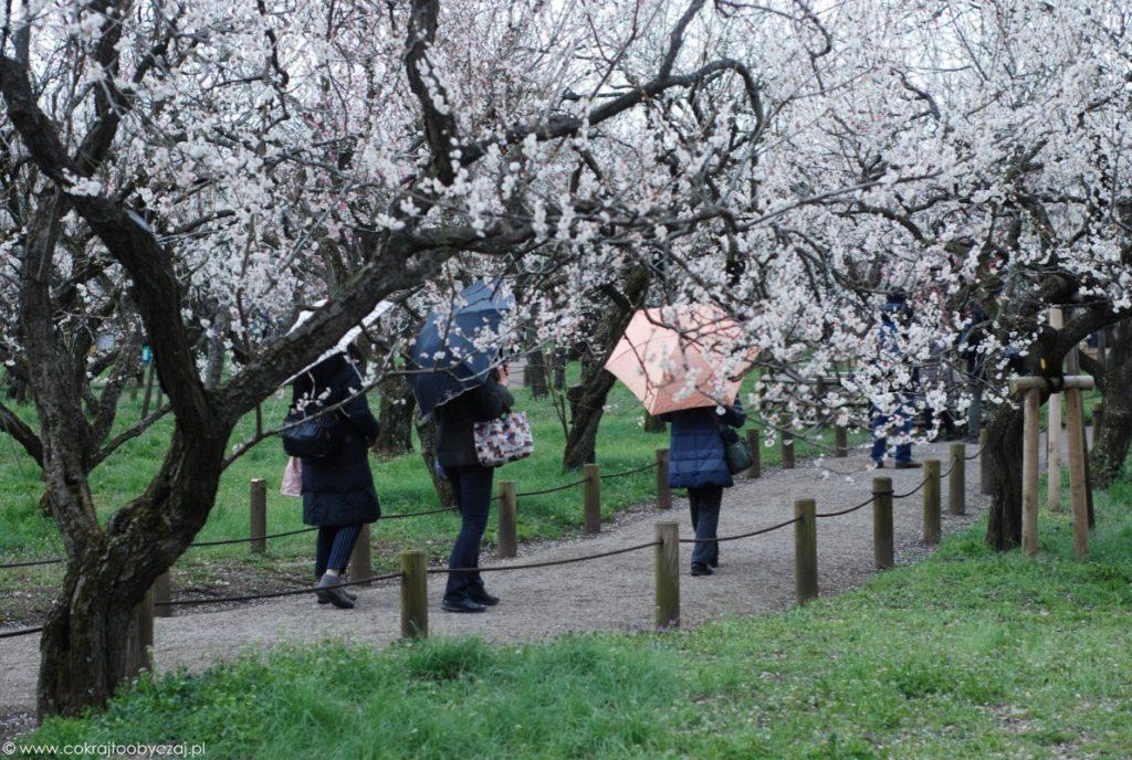 Japonki z parasolkami przechadzające się wśród kwitnących śliw, ume.
