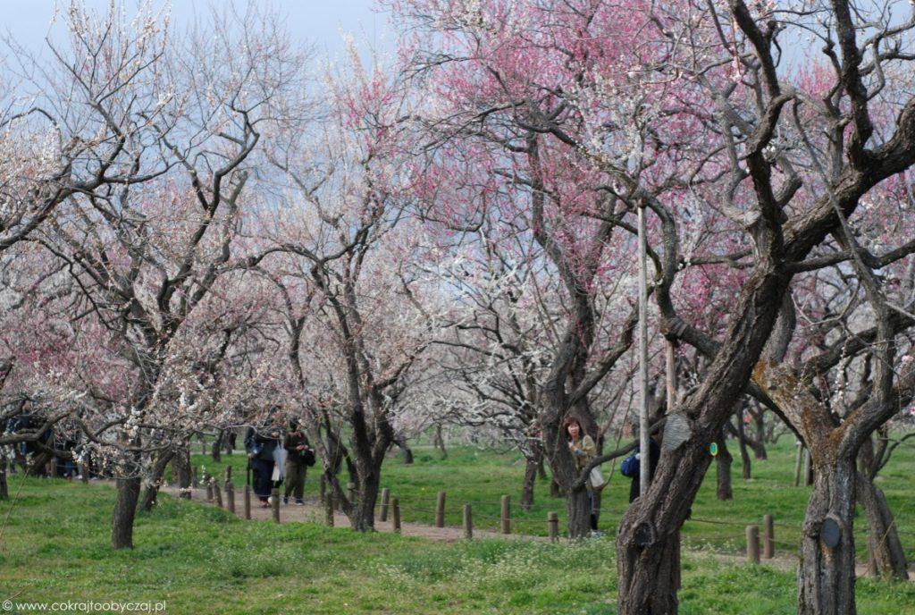 Granatowe niebo i różowe oraz białe kwiaty na drzewach ume w Mito, Ibaraki.