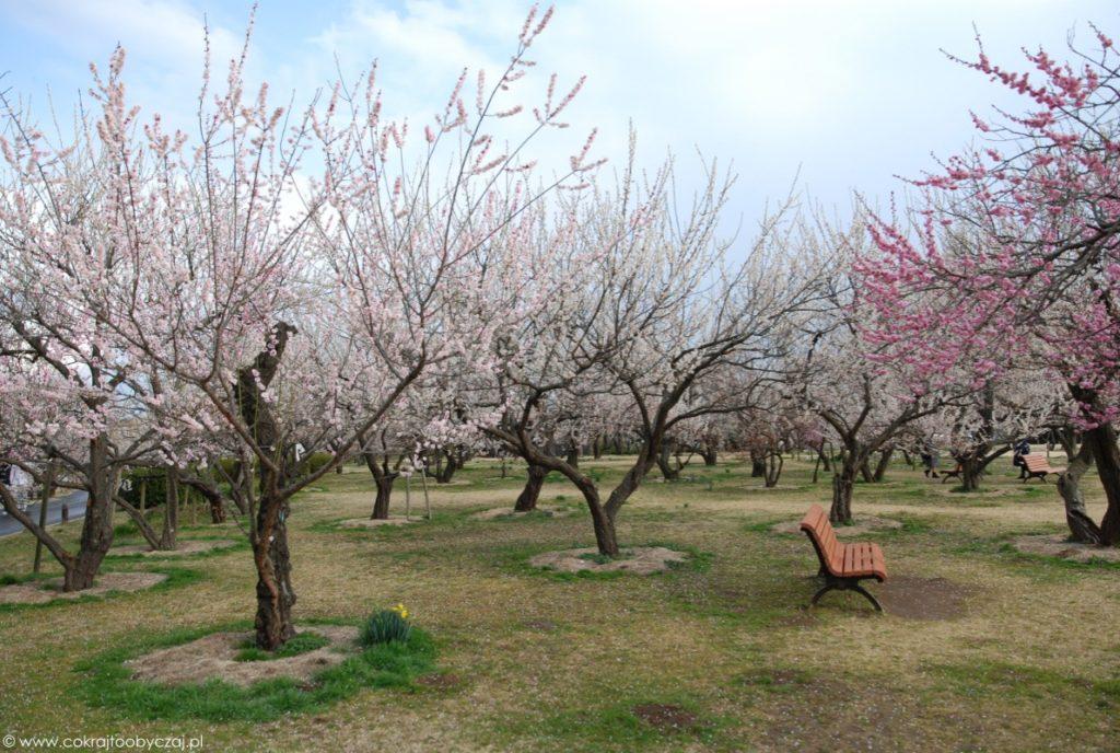 Pusta ławka wśród kwitnących drzewek ume w Mito Kairakuen.