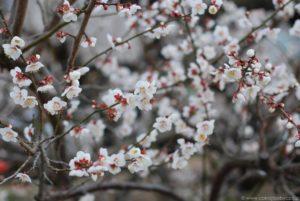 Białe kwiaty ume, zbliżenie.