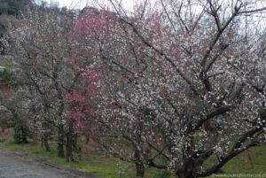 Białe i różowe kwiaty ume, czyli japońskiej śliwy (moreli).