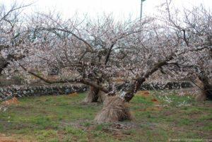 Kwitnące drzewka japońskiej śliwy (moreli) - ume.