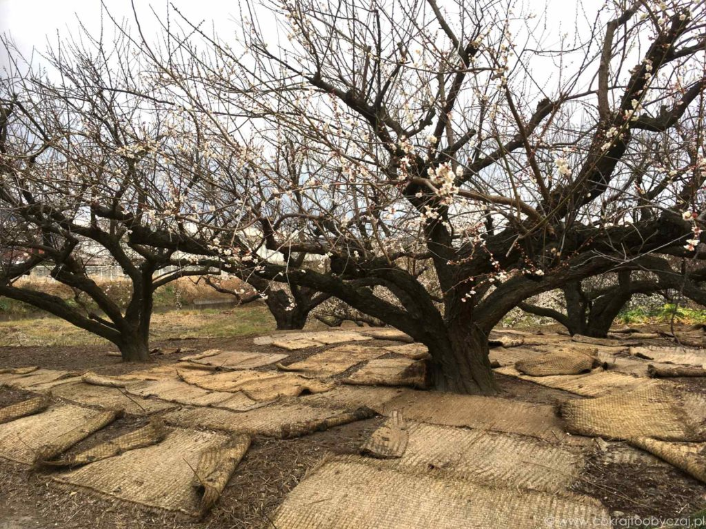 Kwitnące ume, czyli śliwy, w okolicach Odawara w Japonii.