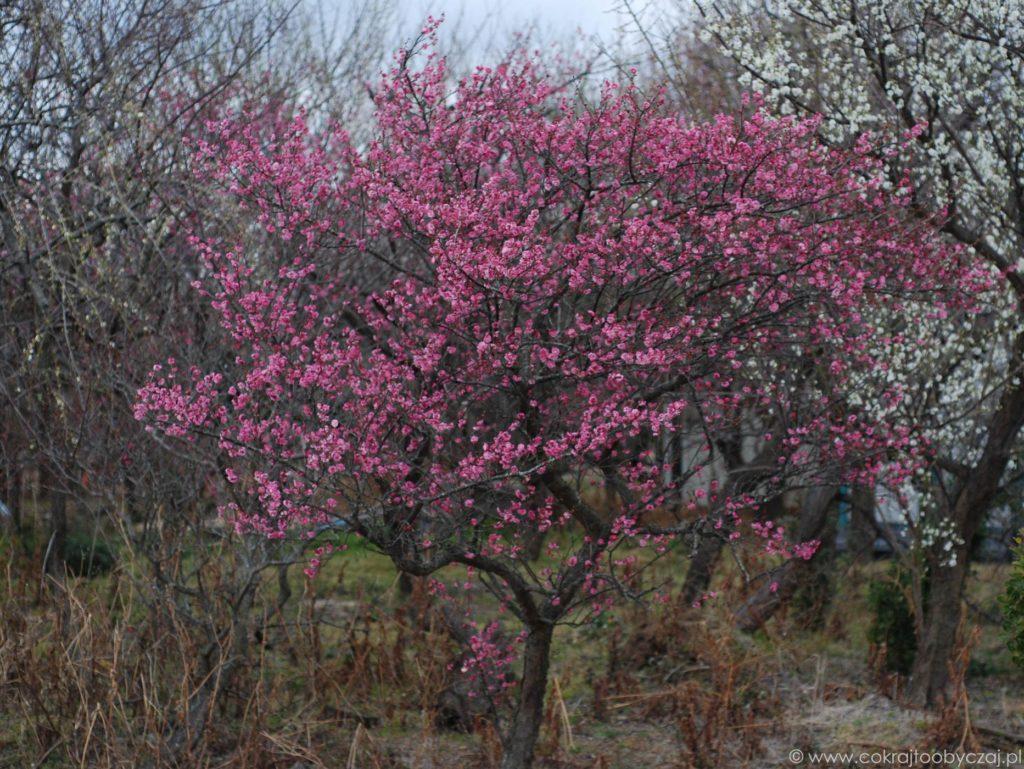 Drzewko ume, czyli japońska śliwa (morela) obsypane różowymi kwiatami.