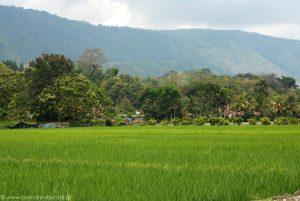Pole ryżowe nad jeziorem Toba.
