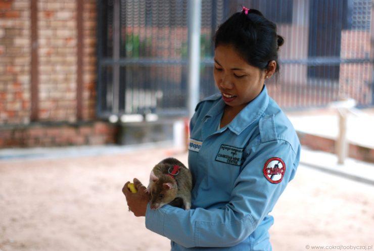 Trenerka i wielkoszczur gambijski w Apopo Visitor Center w Siem Reap.