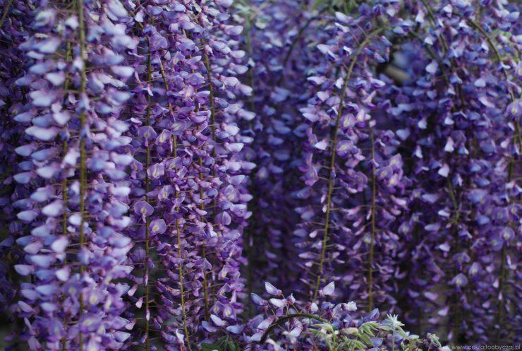 Fioletowa wisteria, nazywana również glicynią.