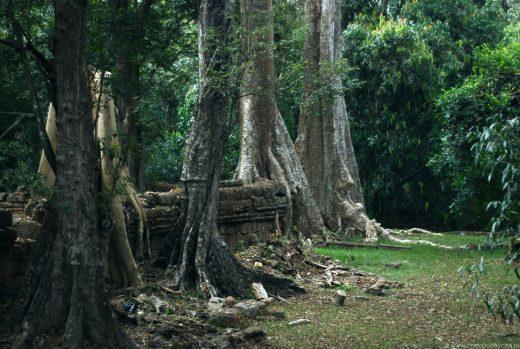Wiekowe drzewa pochłaniają mury zrujnowanego Angkor.