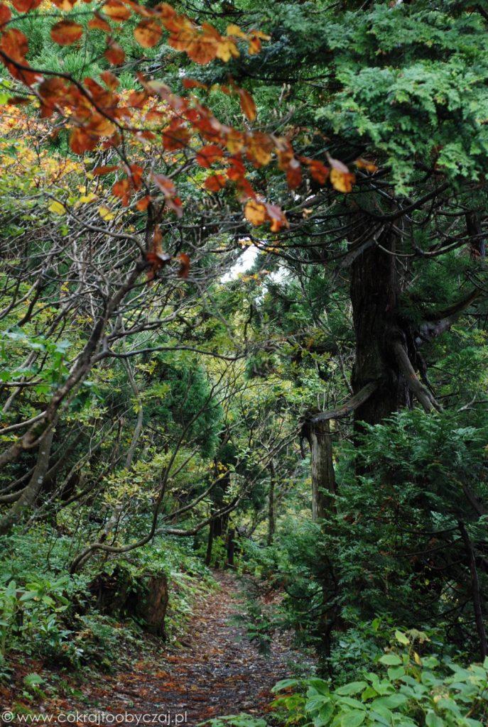 Wyspa Sado słynie między innymi z pięknego lasu sugi.
